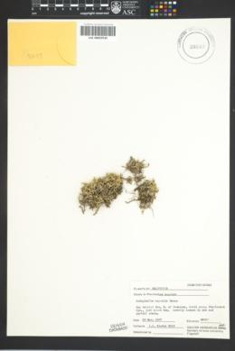 Image of Selaginella asprella