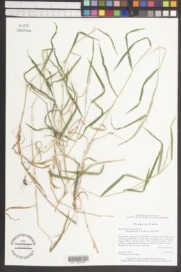 Image of Muhlenbergia japonica