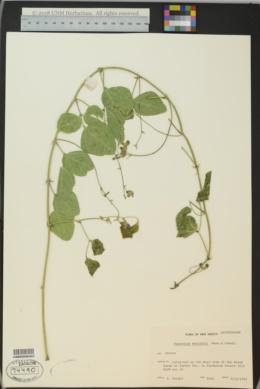 Phaseolus maculatus image
