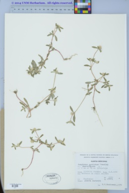 Image of Gomphrena parviceps