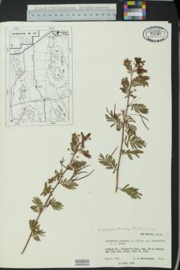 Image of Desmanthus glandulosus