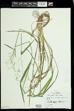 Puccinellia pallida image