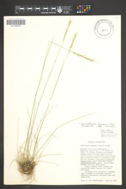 Achnatherum lemmonii image