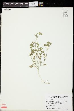 Image of Trifolium argutum