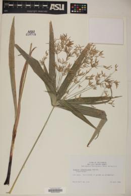 Cyperus albostriatus image