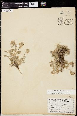 Image of Astragalus austinae