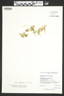 Nitella acuminata image