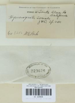 Image of Arcangeliella ambigua