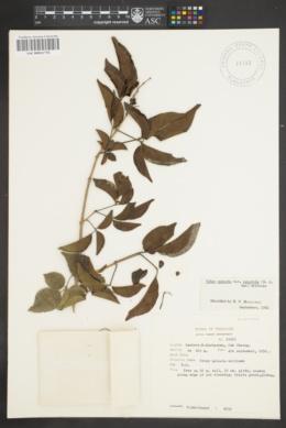 Image of Vitex quinata