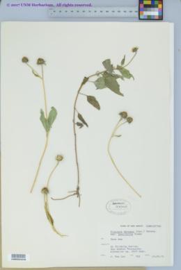 Viguiera dentata var. lancifolia image