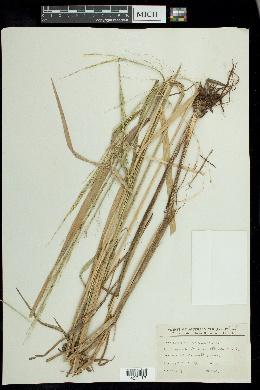 Zizania aquatica image