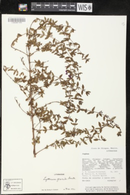 Image of Lythrum gracile