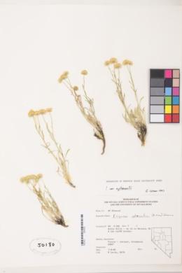Erigeron aphanactis var. aphanactis image