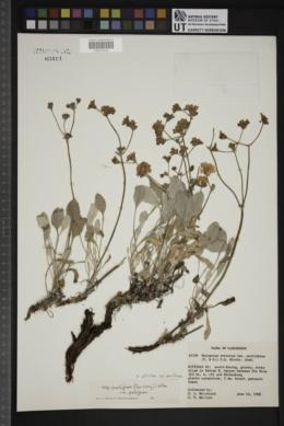 Eriogonum strictum var. proliferum image