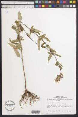 Monarda lindheimeri image