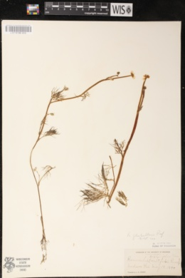 Ranunculus flabellaris image
