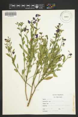Image of Solanum parishii