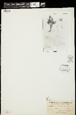Image of Lupinus herzogii