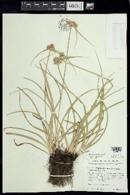 Image of Cyperus nayaritensis