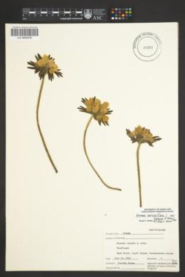 Anemone narcissiflora image