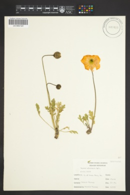 Image of Papaver alaskanum