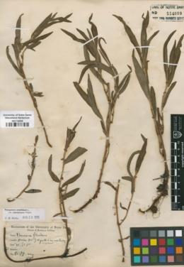 Image of Persicaria fluitans