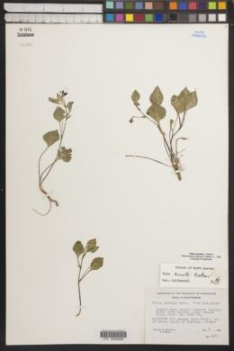 Image of Viola cuneata