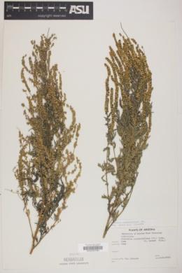 Ambrosia confertiflora image