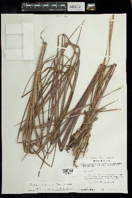 Coelorachis ramosa image