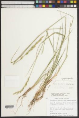 Image of Roegneria grandis
