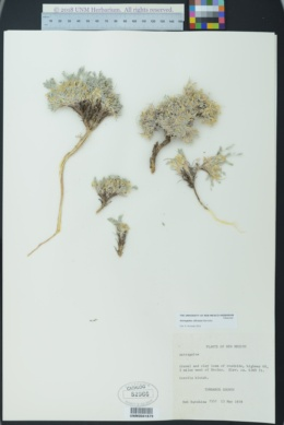 Image of Astragalus siliceus