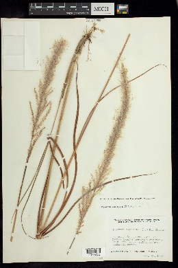 Image of Imperata contracta