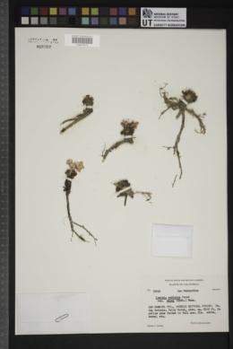 Lewisia rediviva subsp. minor image