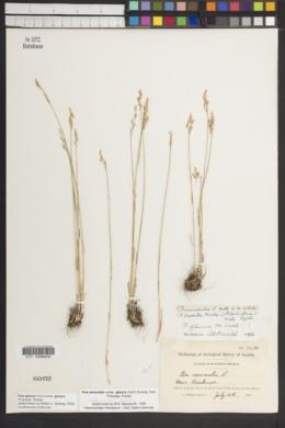Poa glauca subsp. glauca image