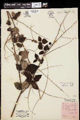 Image of Meibomia laevigata