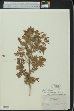 Mimosa grahamii image