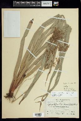 Image of Cyperus matudae