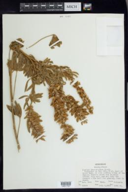 Lupinus leucophyllus image