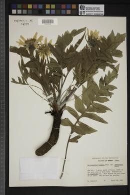 Balsamorhiza hookeri var. idahoensis image