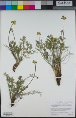 Lomatium caruifolium image