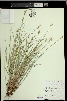 Carex echinata image