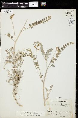 Image of Astragalus fastidius