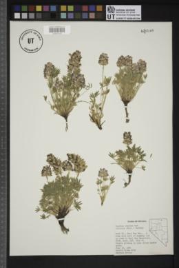 Lupinus lepidus image