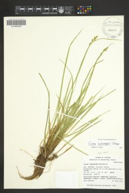 Carex bolanderi image