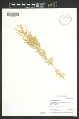 Atriplex obovata image