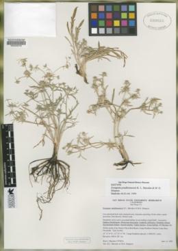 Image of Eryngium pendletonensis