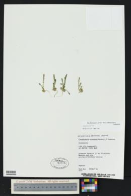 Gentiana fremontii image