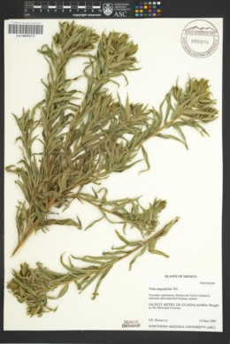 Trixis angustifolia image