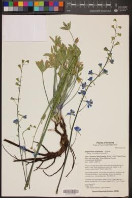 Delphinium scaposum image