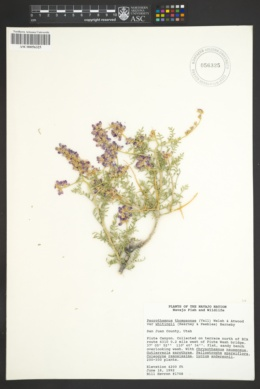 Psorothamnus thompsonae var. whitingii image